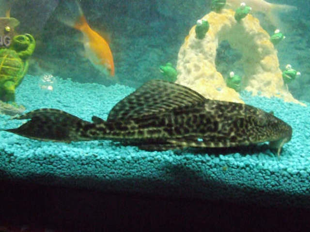algae eating fish - plecos