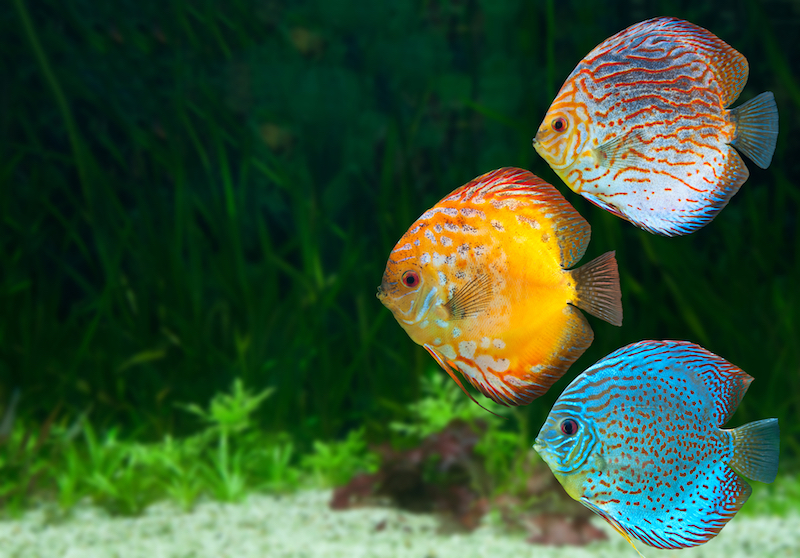 7 benefits to keeping an aquarium fish tank world for Keeping discus fish