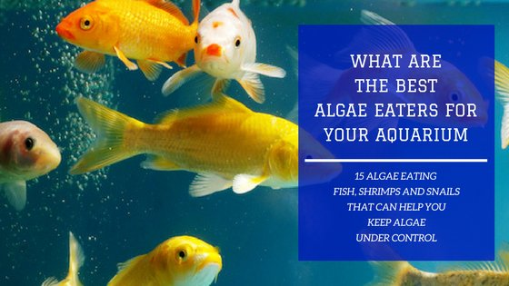 15 Best Algae Eaters to Keep The Aquarium Clean