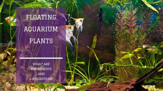 aquarium floating plant