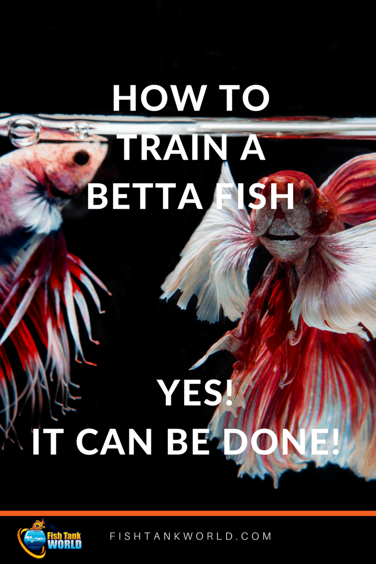 Train a Betta Fish is possible and great fun. Enjoy your fish having fun in the aquarium.