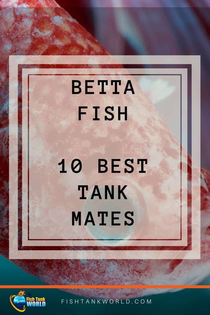 Betta Fish tank mates. The best 10 species to match with your Betta Fish to keep the harmony in the Aquarium.