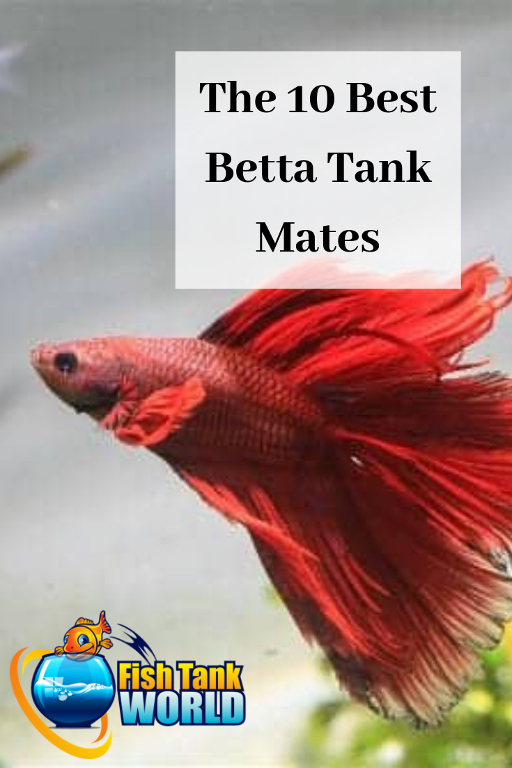 Betta Tank Mates: The 10 Best Companions for Your Betta Fish