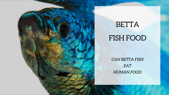 Can betta fish eat human food