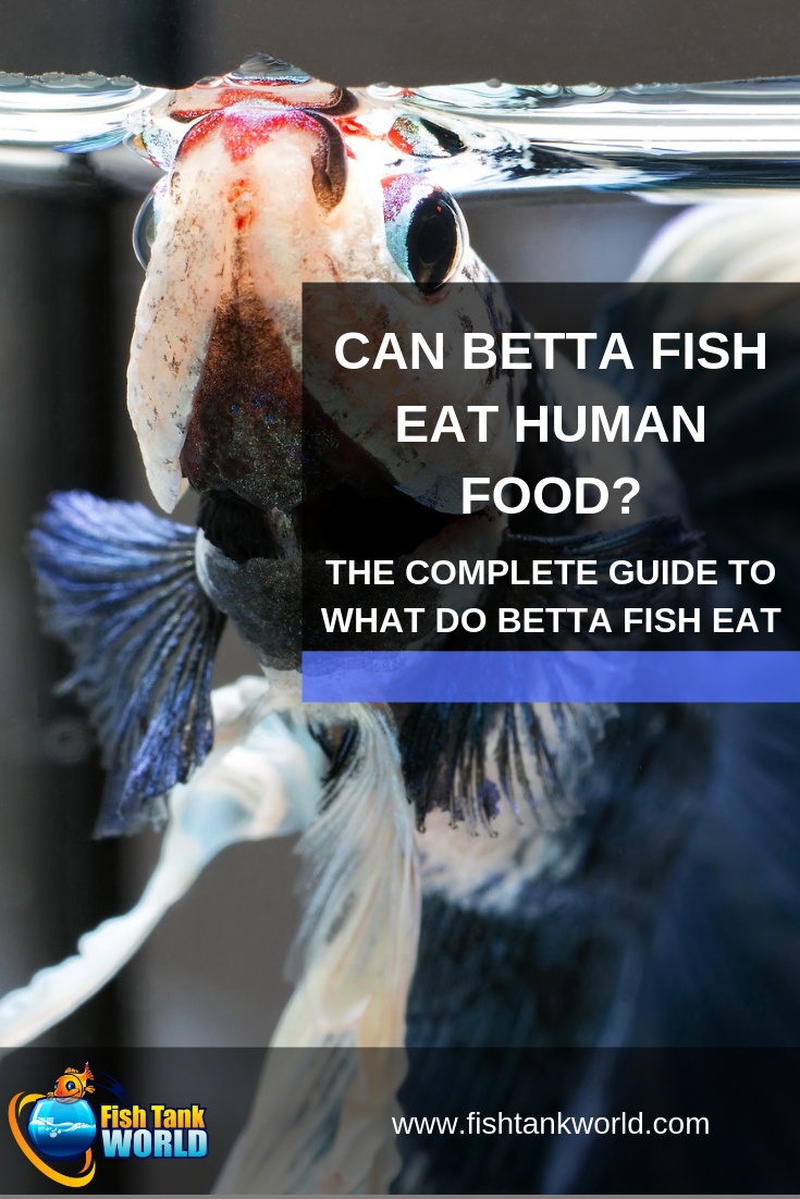 Pellets, flakes, live foods, freeze dried foods, frozen foods… What do betta fish eat is a topic that betta owners love to discuss. One of the more controversial topics is can betta fish eat human food? Is it safe to feed betta fish things like vegetables, fruits, or meats? Check out our article to learn more!