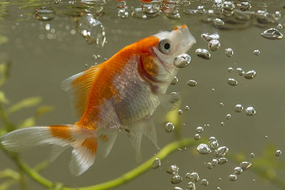 what to feed goldfish