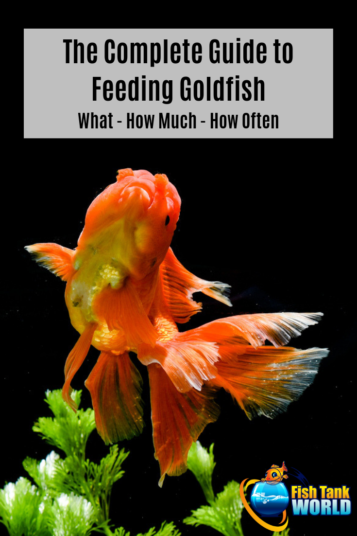 The Complete Guide to Feeding Goldfish - Food Ideas Your Fish Will Love!