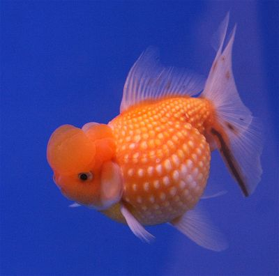 Pearlscale Fancy Goldfish