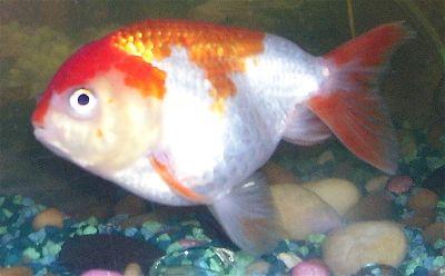 Lionhead Fancy Goldfish