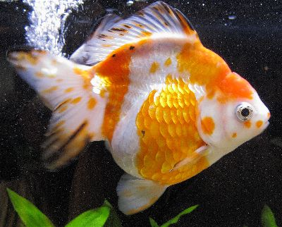 Ryukin Fancy Goldfish