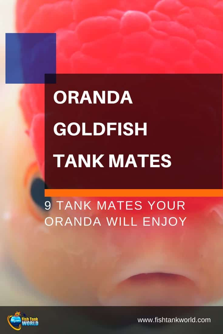 Nine Safe Tank Mates for Oranda Fish