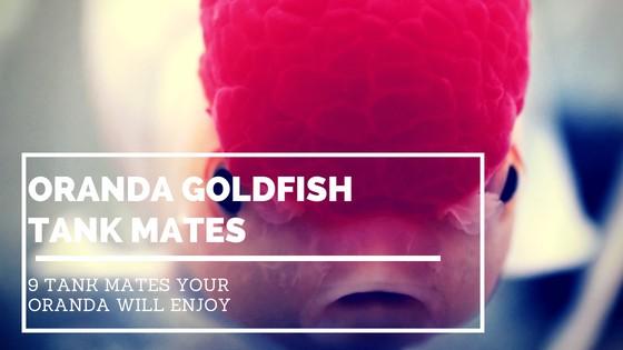 oranda goldfish tank mates