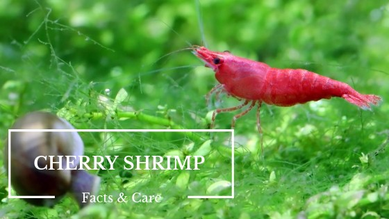 CHERRY SHRIMP CARE