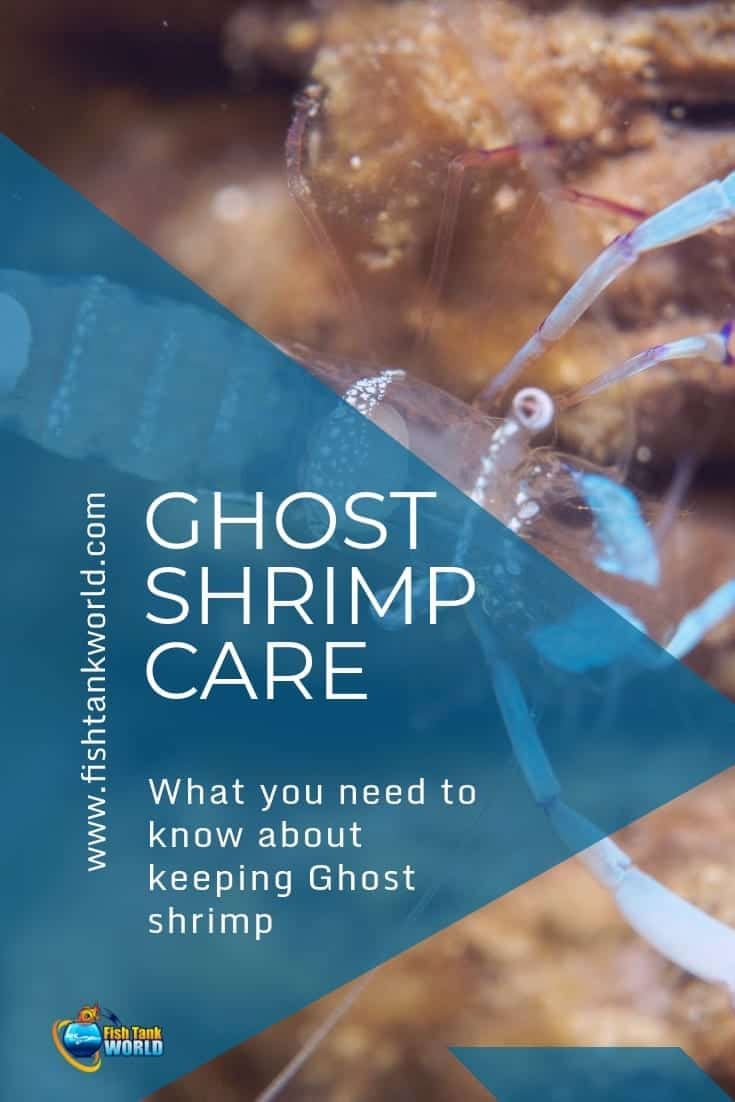 Ghost shrimp are common in the freshwater aquarium hobby. They're inexpensive and easy to care for. Here's what you need to know about keeping Ghost shrimp.