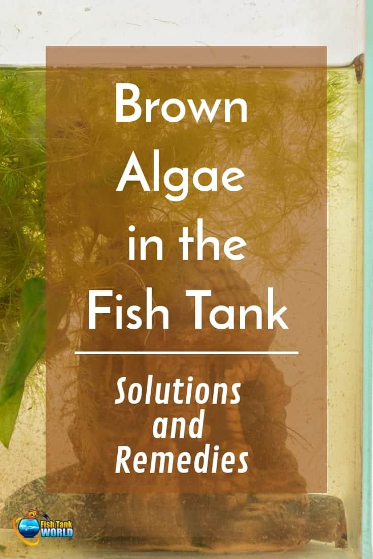 Brown algae in fish tank environments seem to be one of the biggest problems of fish keeping. Brown algae can quickly cover a beautiful tank, covering not just the view, but also the leaves of the plants in the tank, causing them to wilt and die. If not taken care of, brown algae becomes highly invasive due to its extreme tolerance to bad water conditions.