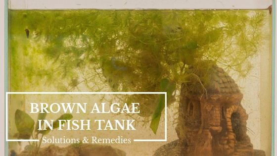 Brown Algae in Fish Tank