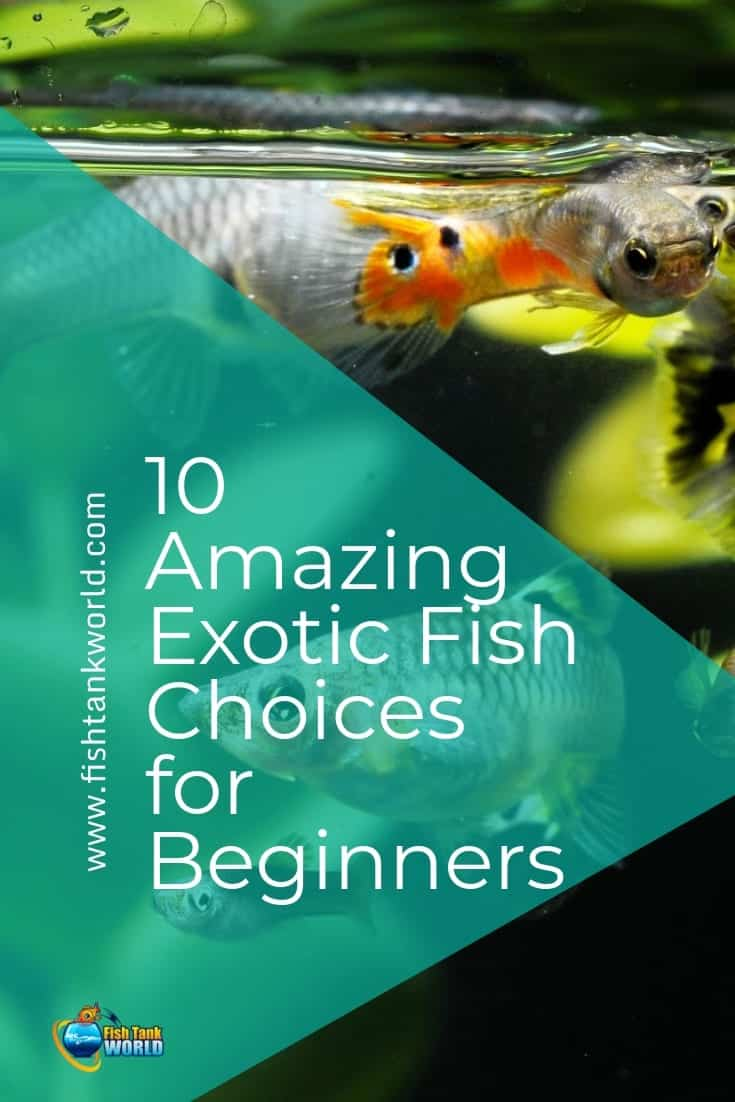 Many novice aquarium hobbyists dream of integrating exotic fish into the ecosystem of their tank, as these species are generally energetic and colorful. While it is true that some tropical swimmers are hard to handle, there are plenty of beginner-friendly options in the aquarium trade.
