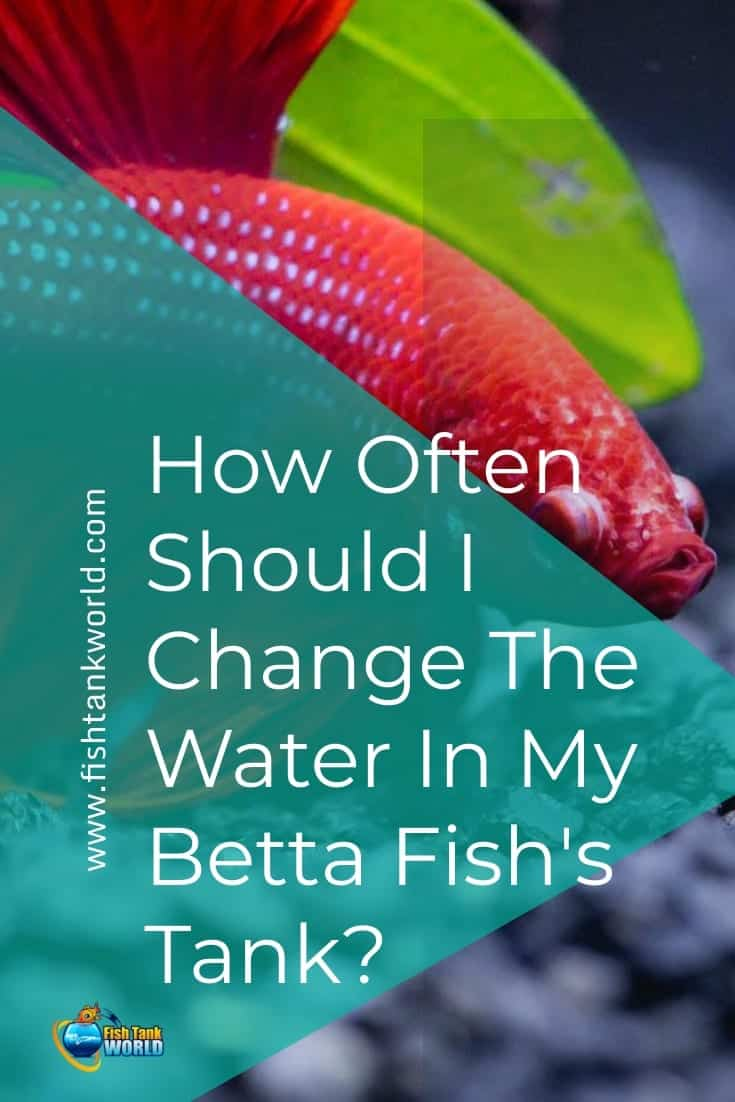 If you've just brought your betta home and are looking for tips on how to start taking care of your new fish, you have landed at just the right place. Let us discuss how to set up a betta aquarium, take care of its cleanliness, and change water on regular basis.
