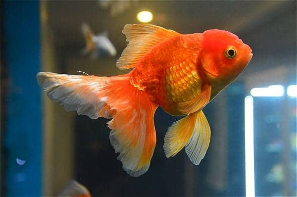 how often to feed goldfish