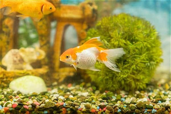 Aquarium plant and substrate with goldfish