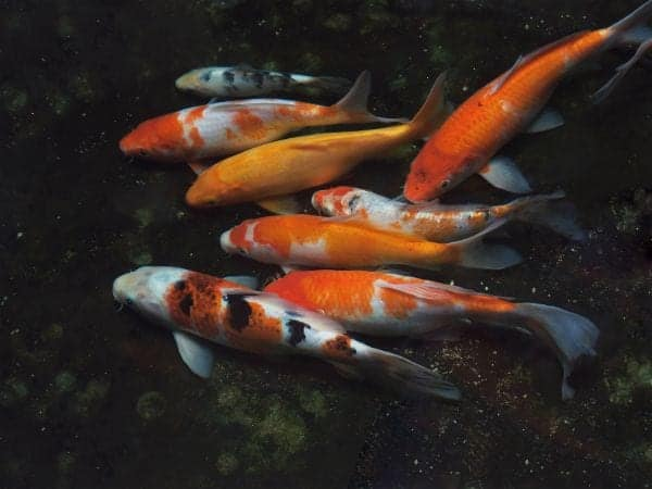 Colored koi fish