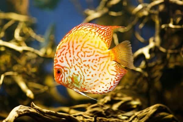 discus in fish tank