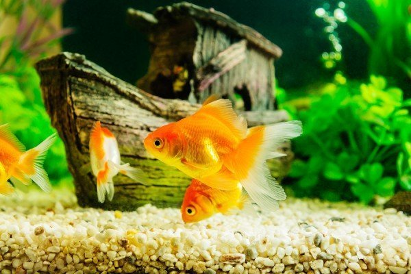 Choosing Aquarium for Goldfish