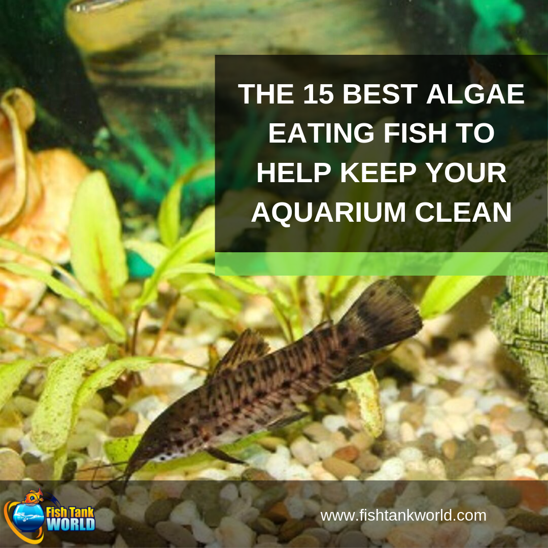 best algae eating fish